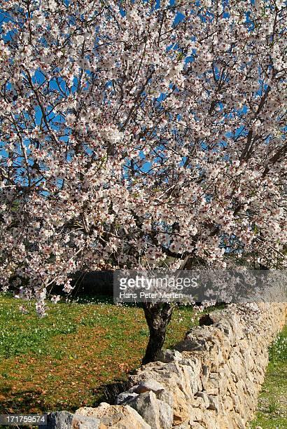 blooming almonds, Cala d'Or, Mallorca