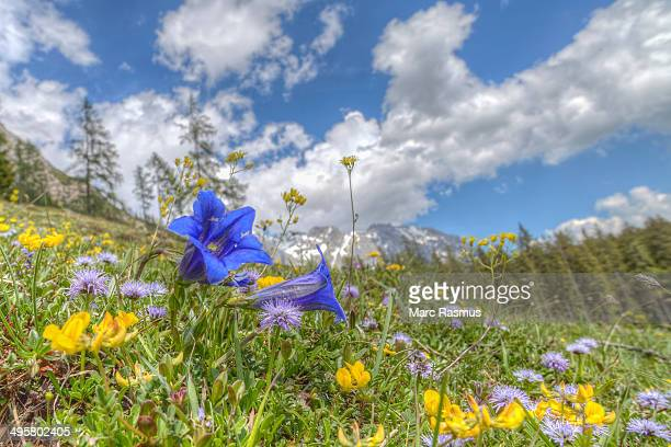 Blooming alpine meadow with Alpine Gentian -Gentiana alpina- at the front, Dachstein Mountains, Salzburger Land, Austria