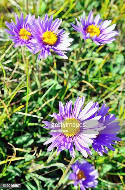 blooming alpine - カンポ・インペラトーレ ストックフォトと画像