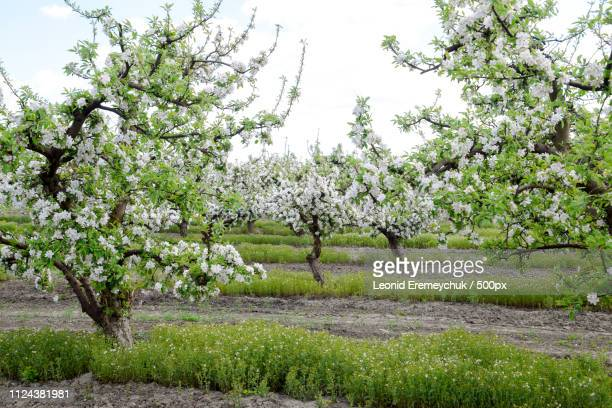 blooming apple orchard. adult trees bloom in the apple orchard. fruit garden - obstbaum stock-fotos und bilder