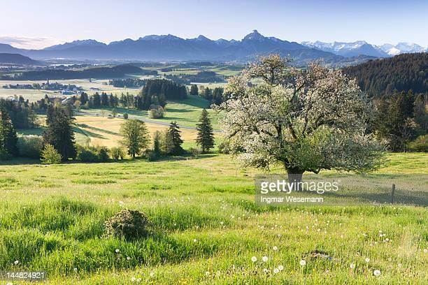 blooming apple tree in a  meadow, bavaria, germany - obstbaum stock-fotos und bilder