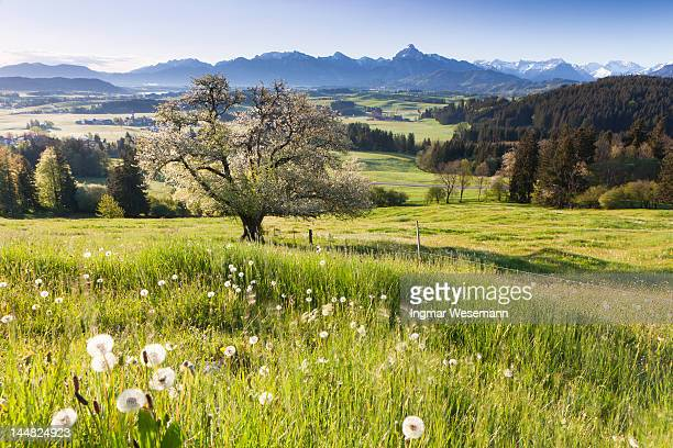 Blooming apple tree in a  meadow, Bavaria, Germany