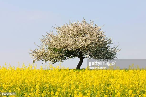 blooming apple tree in a rape field, lower franconia, bavaria, germany, europe - appelboom stockfoto's en -beelden