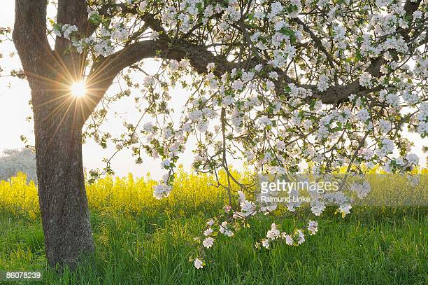 Blooming apple tree in rapeseed field, Franconia, Bavaria, Germany