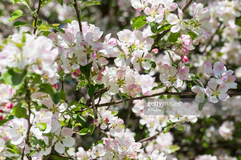 Blooming Apple Tree In Spring Time For Background High-Res