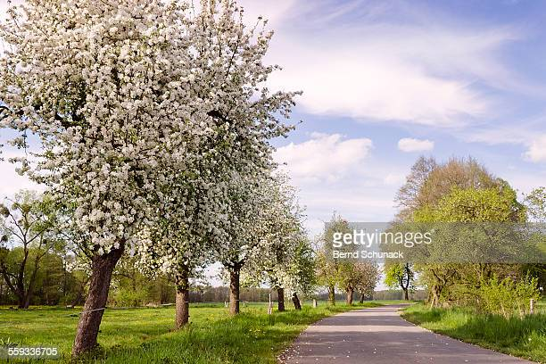blooming apple trees - bernd schunack stock pictures, royalty-free photos & images