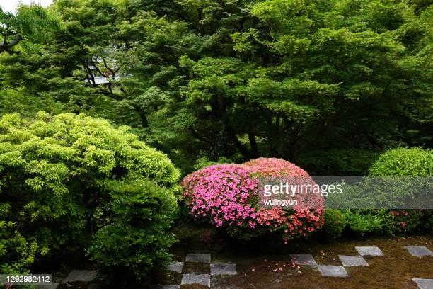 blooming azalea among green bush - azalea stock pictures, royalty-free photos & images