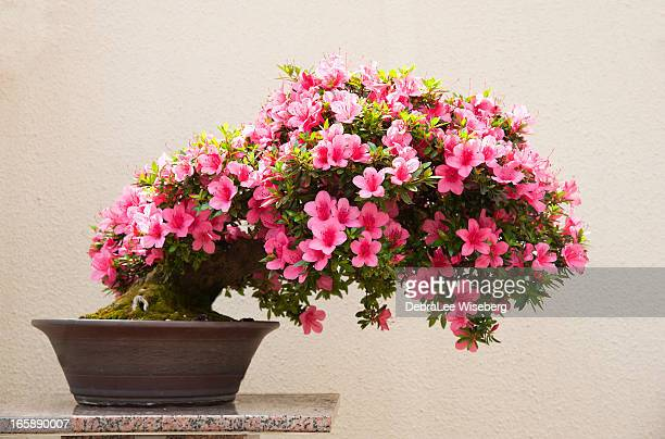 blooming azalea bonsai - bonsai tree stock pictures, royalty-free photos & images