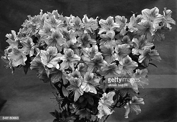 Blooming Azalea Photographer Arend Bonsdorf Published by 'Die Gruene Post' 24/1929 Vintage property of ullstein bild