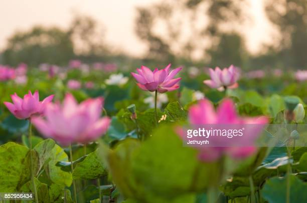 Blooming beautiful pink lotus flower in sunrise