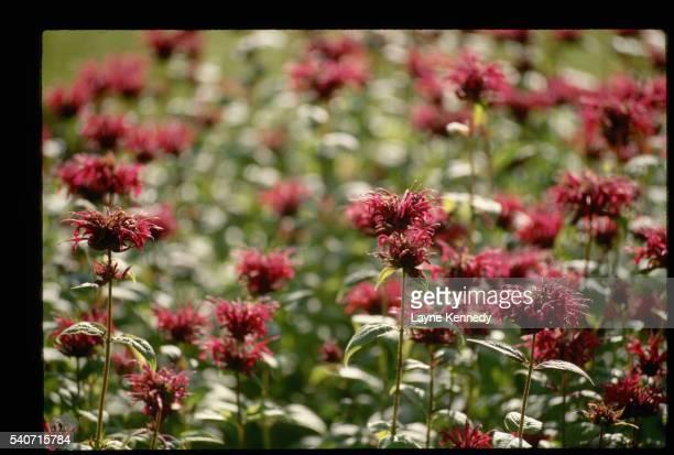 Blooming Bee Balm