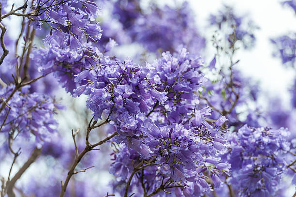 Free Jacaranda Tree Images Pictures And Royalty Free Stock Photos