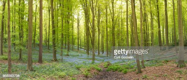 blooming bluebells in the hallerbos forest - beech tree stock pictures, royalty-free photos & images