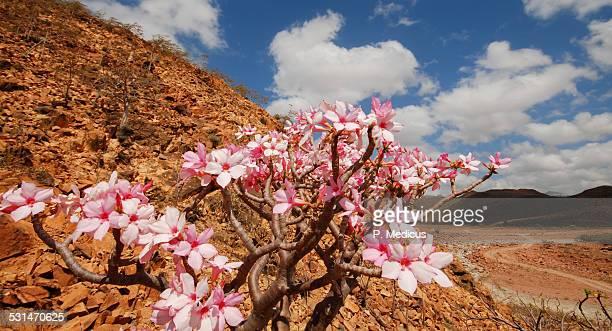 blooming bottle-tree in Socotra, Yemen