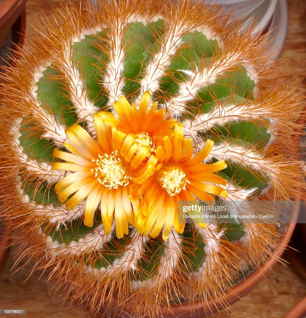 Blooming Cactus : Foto stock