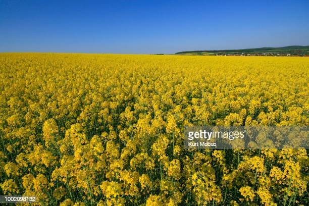 Blooming canola field near the village of Wehrheim, Taunus, Hesse, Germany