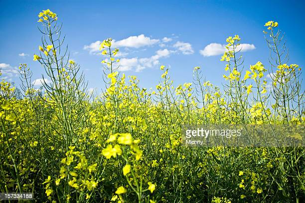 blooming canola field - mlenny stock pictures, royalty-free photos & images