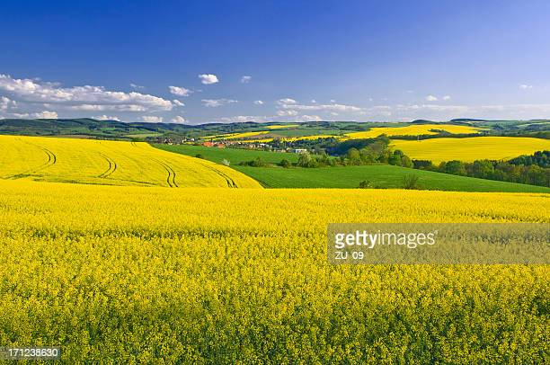 blooming canola fields in spring - saxony stock pictures, royalty-free photos & images