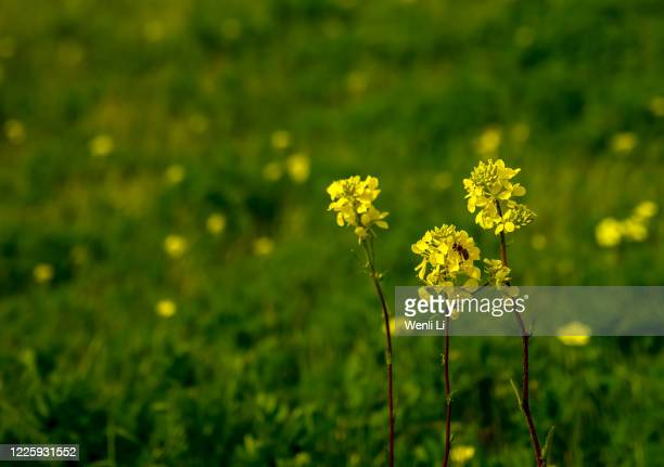 blooming canola flowers in springtime and honeybee - fremont california stock pictures, royalty-free photos & images