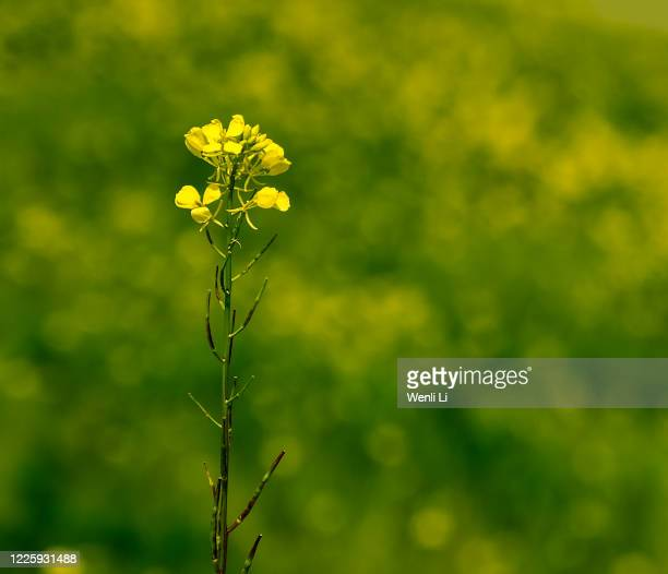 blooming canola flowers in springtime - fremont california stock pictures, royalty-free photos & images