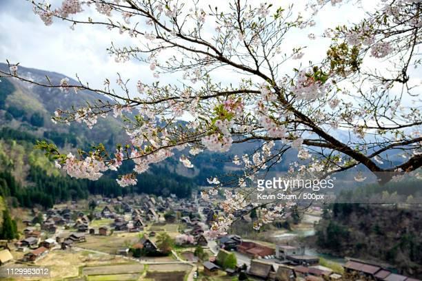 blooming cherry blossom against houses of historic villages ofshirakawa-goandgokayama - kevin shum stock-fotos und bilder