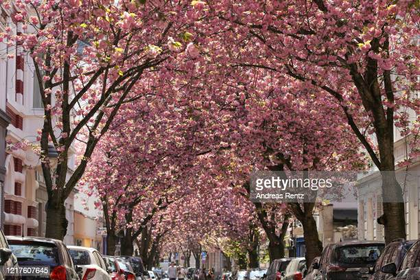 Blooming cherry blossom and cherry blossom trees are seen in the streets of the historic district on April 08 2020 in Bonn Germany The cherry...