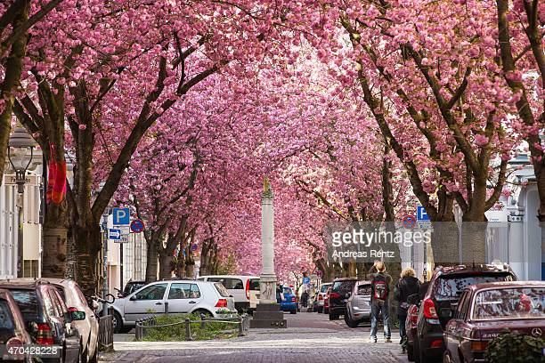 Blooming cherry blossom trees are pictured in the historic district on April 20 2015 in Bonn Germany The ornamental japanese cherry blossom trees...