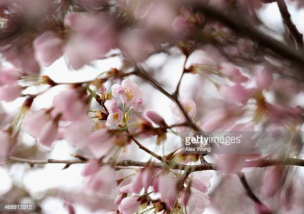 Blooming Cherry Blossom trees are seen at the Tidal Basin April 8 2015 in Washington DC The Cherry trees around the Tidal Basin which were originally...