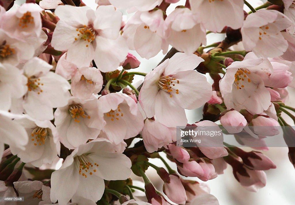Photos Et Images De Washington D C S Cherry Blossoms Begin To Bloom