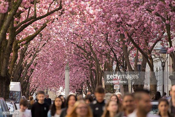 Blooming cherry blossom trees are seen in the streets of the historic district on April 18 2016 in Bonn Germany The ornamental japanese cherry...