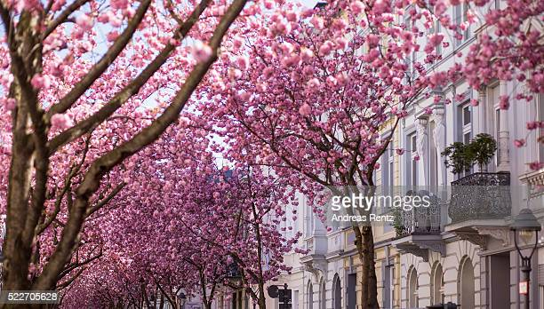 Blooming cherry blossom trees are seen in the streets of the historic district on April 20 2016 in Bonn Germany The ornamental japanese cherry...