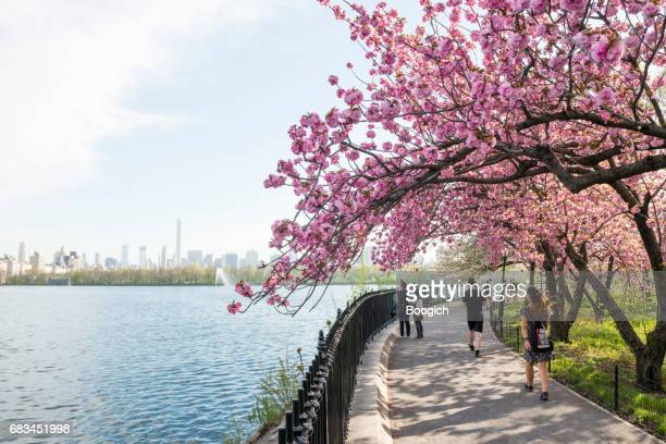 Blooming Cherry Blossom Trees by Reservoir Central Park NYC