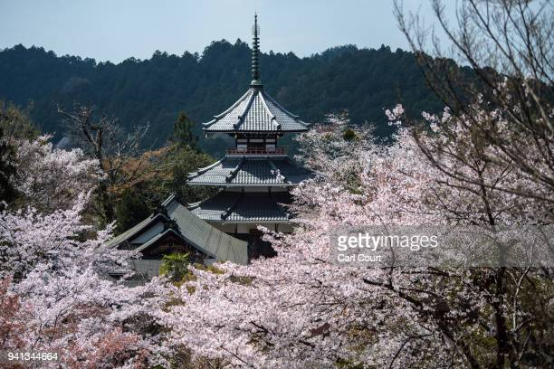 Blooming cherry blossom trees surround a pagoda on April 3 2018 in Yoshino Japan The town of Yoshino in Nara Prefecture has become famous throughout...