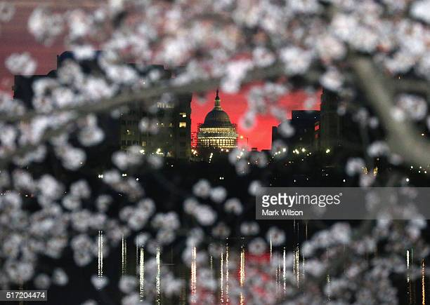 Blooming Cherry Blossoms are visible as the early morning sun rises behind the US Capitol March 24 2016 in Washington DC The Cherry Blossom trees...
