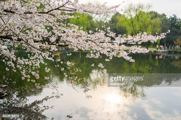 blooming cherry in park nearby west lake, hangzhou, china - west lake hangzhou stock pictures, royalty-free photos & images