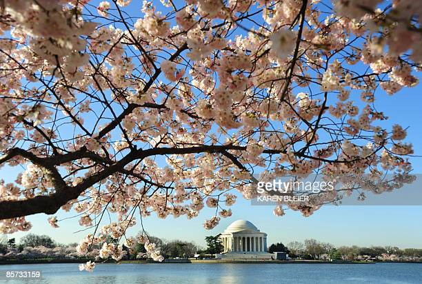 A blooming cherry tree infront of the Jefferson Memorial at the Tidal Basin on March 31 2009 in Washington DC The annual Cherry Blossom Festival runs...