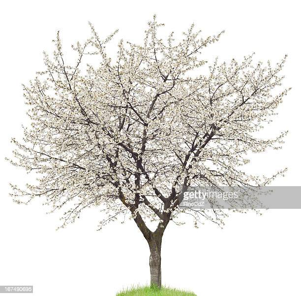 blooming cherry tree on white - blossom stock pictures, royalty-free photos & images