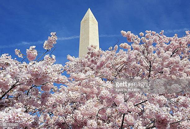 Blooming cherry trees in front of the Washington Monument on March 31 2009 in Washington DC The annual Cherry Blossom Festival runs April 4 12 AFP...