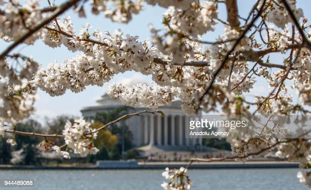 Blooming cherry trees which were sent from Tokyo after it was selected as 'town twinning' in 1912 are seen along the Tidal Basin ahead of the...
