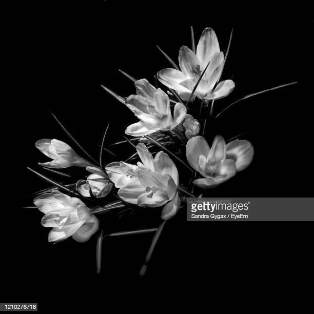 blooming crocus in black and white - sandra gygax stock-fotos und bilder