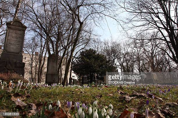 Blooming crocuses on a cemetery, Munich, Bavaria, Germany