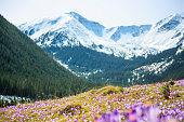 Blooming crocuses on a mountain meadow in spring (Tatra Mountain, Poland)