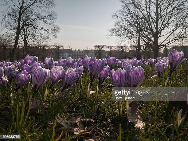 blooming crocuses - dorte fjalland photos et images de collection