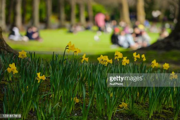 Blooming daffodils seen at St Stephen's Green Park in Dublin's city centre during level 5 COVID-19 lockdown. On Friday, 19 March 2021, in Dublin,...