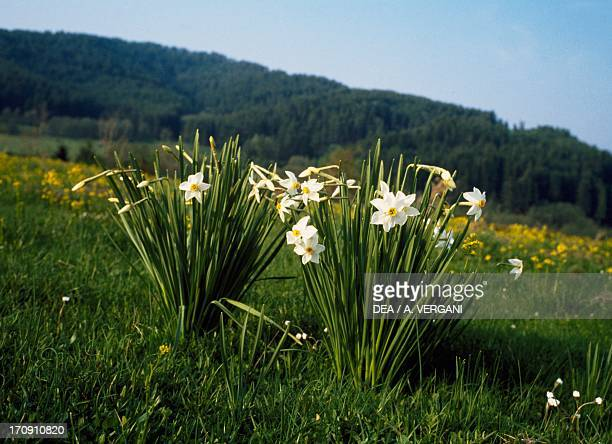 Blooming daffodils , the Greater Sila, Sila National Park, Calabria, Italy.