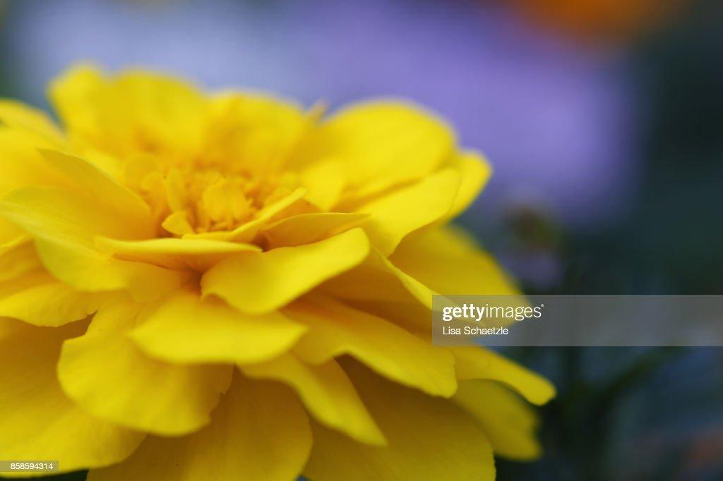 Blooming Dahlia : Stock-Foto