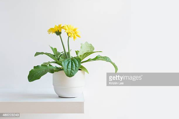 blooming daisy - pot plant stock pictures, royalty-free photos & images