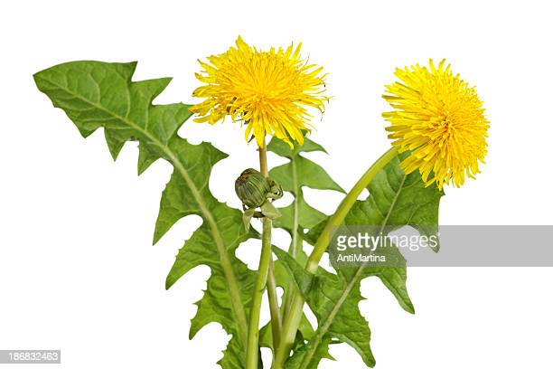 blooming dandelions isolated on white