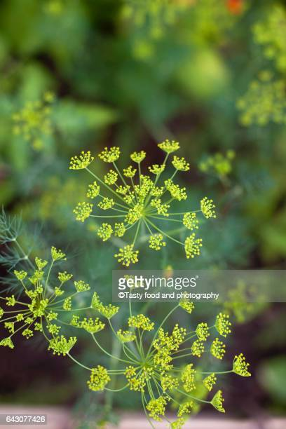 Blooming dill in the garden