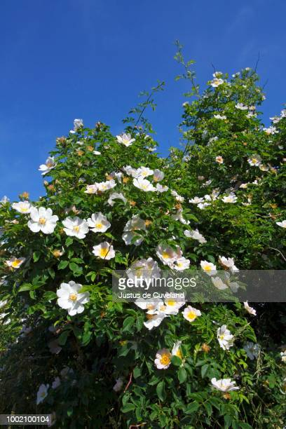 Blooming Dog Rose, Common Briar (Rosa canina), wild, scented rose